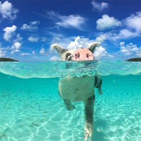 Thumbnail Swimming With Pigs Bahamas Bahamas Holidays