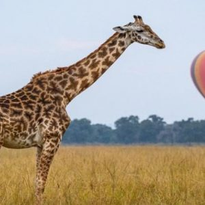 Luxury South Africa Holiday Packages Governors Camp, Kenya Giraffe Hot Air Balloon