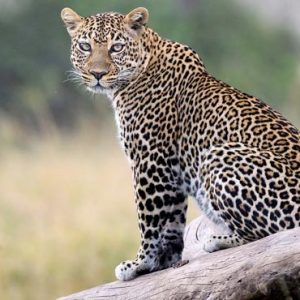 Luxury South Africa Holiday Packages Governors Camp, Kenya Leopard