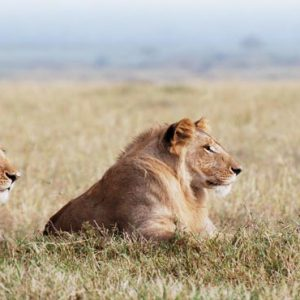 Luxury South Africa Holiday Packages Governors Camp, Kenya Lions