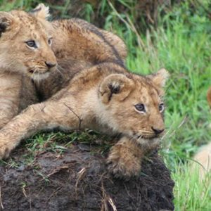 Luxury South Africa Holiday Packages Governors Camp, Kenya Tigers