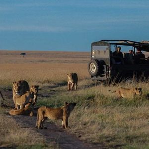 Luxury South Africa Holiday Packages Governors Camp, Kenya Tigers In Safari Game Drive