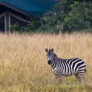 Luxury South Africa Holiday Packages Governors Camp, Kenya Zebras In Safari