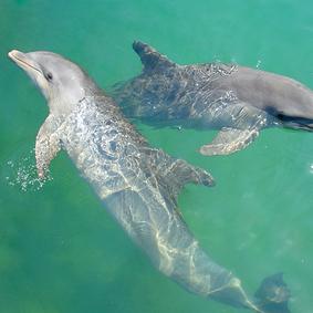 dolphin caribbean