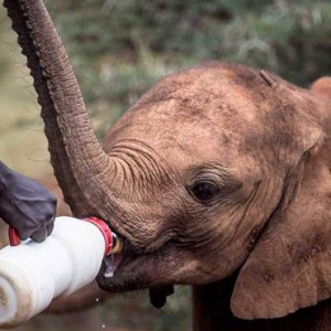 elephant feeding - Giraffe Manor - Luxury Kenyan Honeymoon Packages