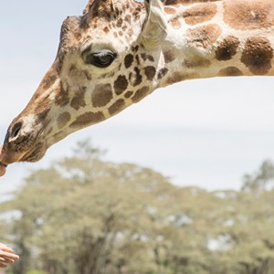 giraffes 1 - Giraffe Manor - Luxury Kenyan Honeymoon Packages