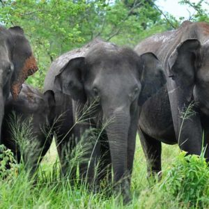 Luxury Sri Lanka Holiday Packages Grand Udawalawe Safari Resort Elephants