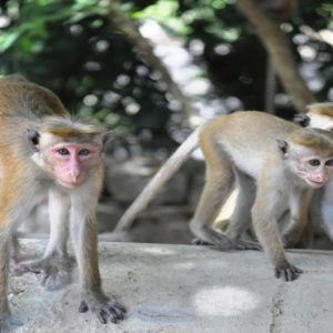 Luxury Sri Lanka Holiday Packages Grand Udawalawe Safari Resort Monkeys