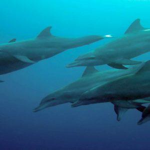Kuramathi Maldives Luxury Luxury Maldives Holiday Packages Dolphins
