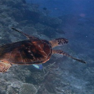 luxury fiji holiday packages - Matamanoa Island Resort - turtles