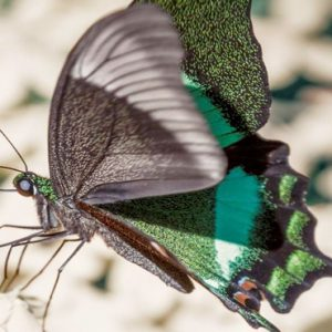 Luxury Malaysia Holiday Packages The Datai Langkawi Nature Emerald Peacock Butterfly