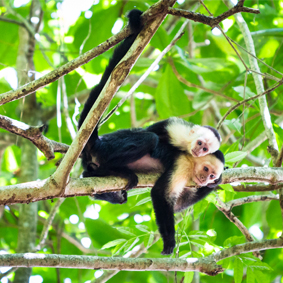 Luxury Costa Rica Group Tours South America Group Tour Packages Monkey