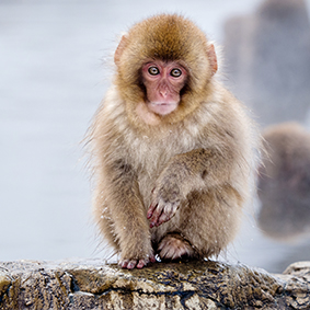 Luxury Japan Holida Japan Excursions Snow Monkey Thumbnail