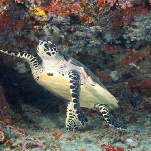 Luxury Maldives Holidays Hideaway Beach Resort Sea Turtle