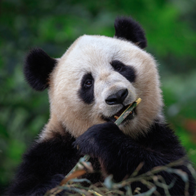 Luxury China Holidays - Excursion- Top places to see Pandas In China Thumbnail