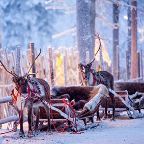 Reindeer In Lapland Lapland Holidays